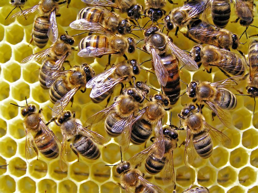 Виды и породы пчел. Породы пчел: основные особенности и характеристики