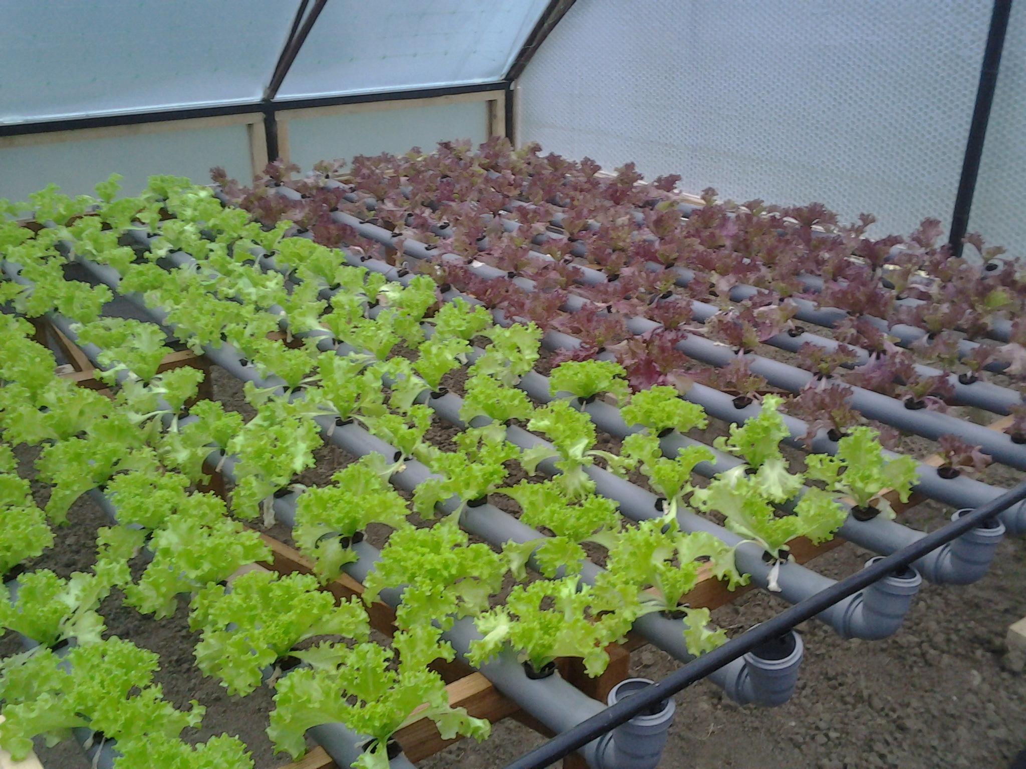 Виктория технология выращивания 25