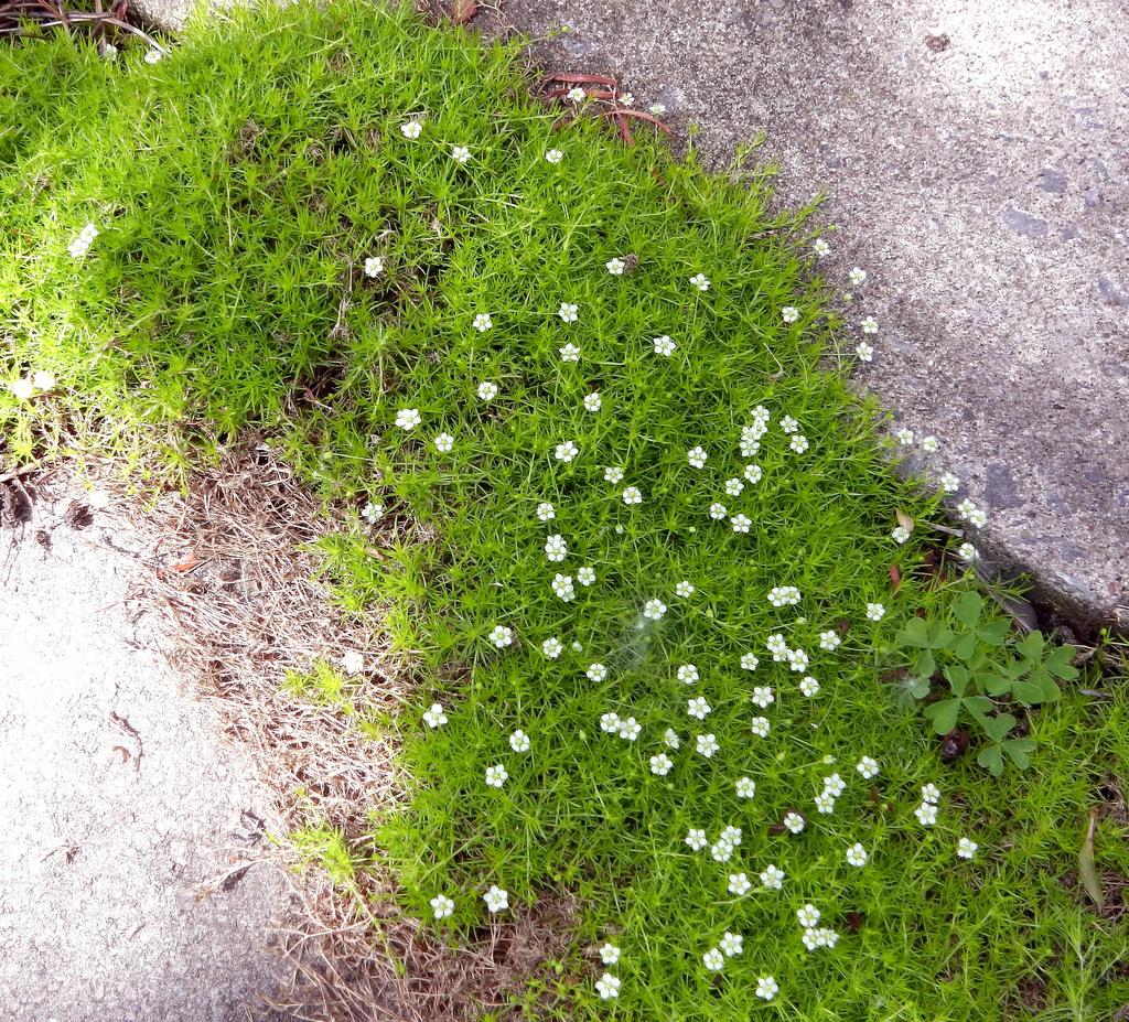 Мшанка шиловидная выращивание из семян в открытом грунте 38