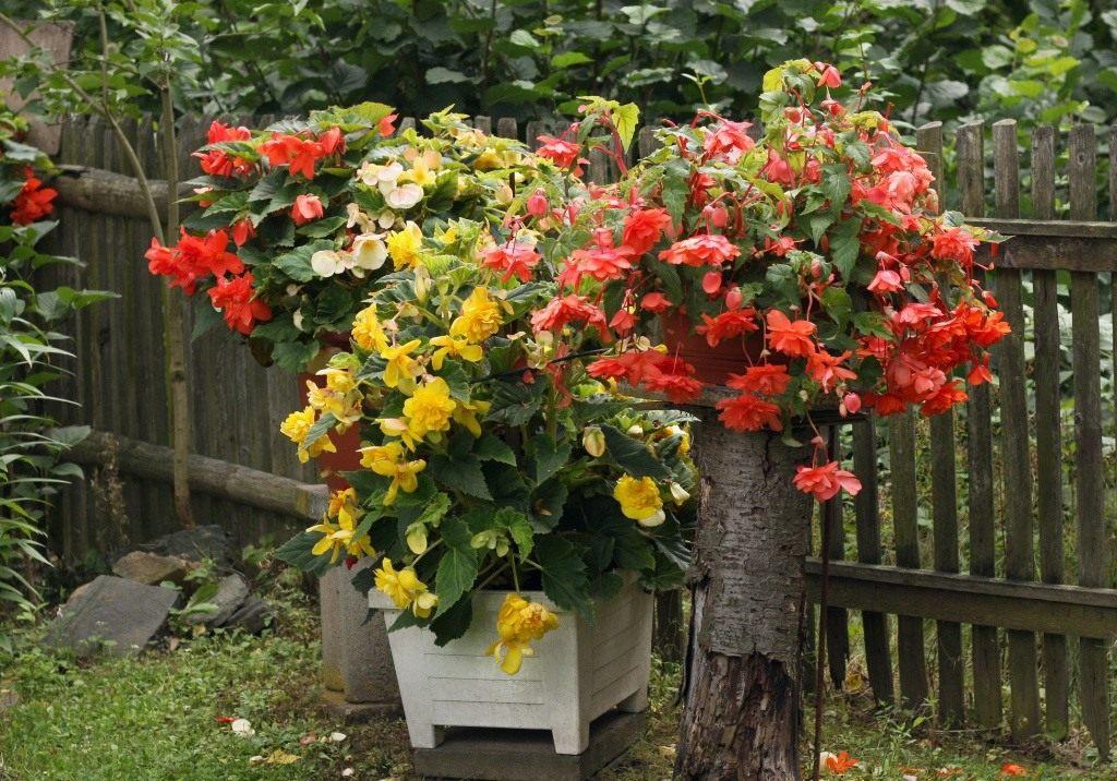 Бегония в саду выращивание 75