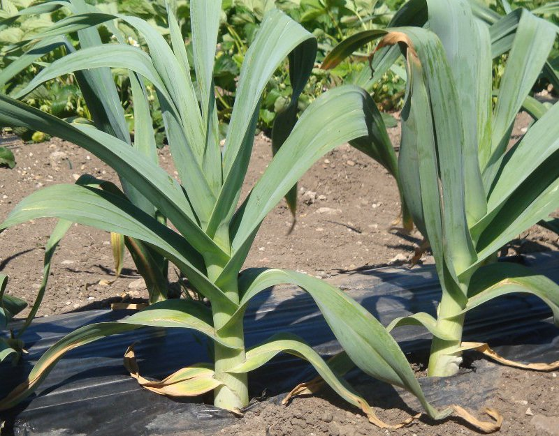 Выращивание многолетнего чеснока 15