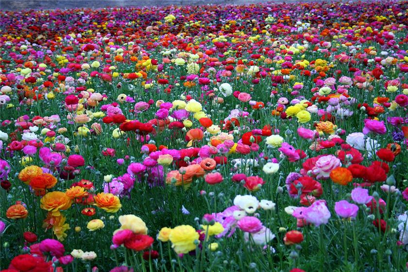 Фото лютики цветы