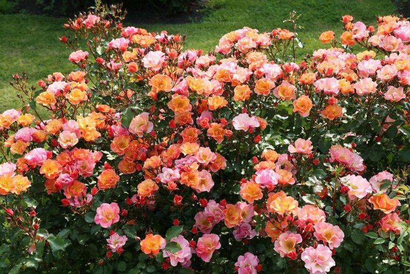 Какие сорта роз посадить