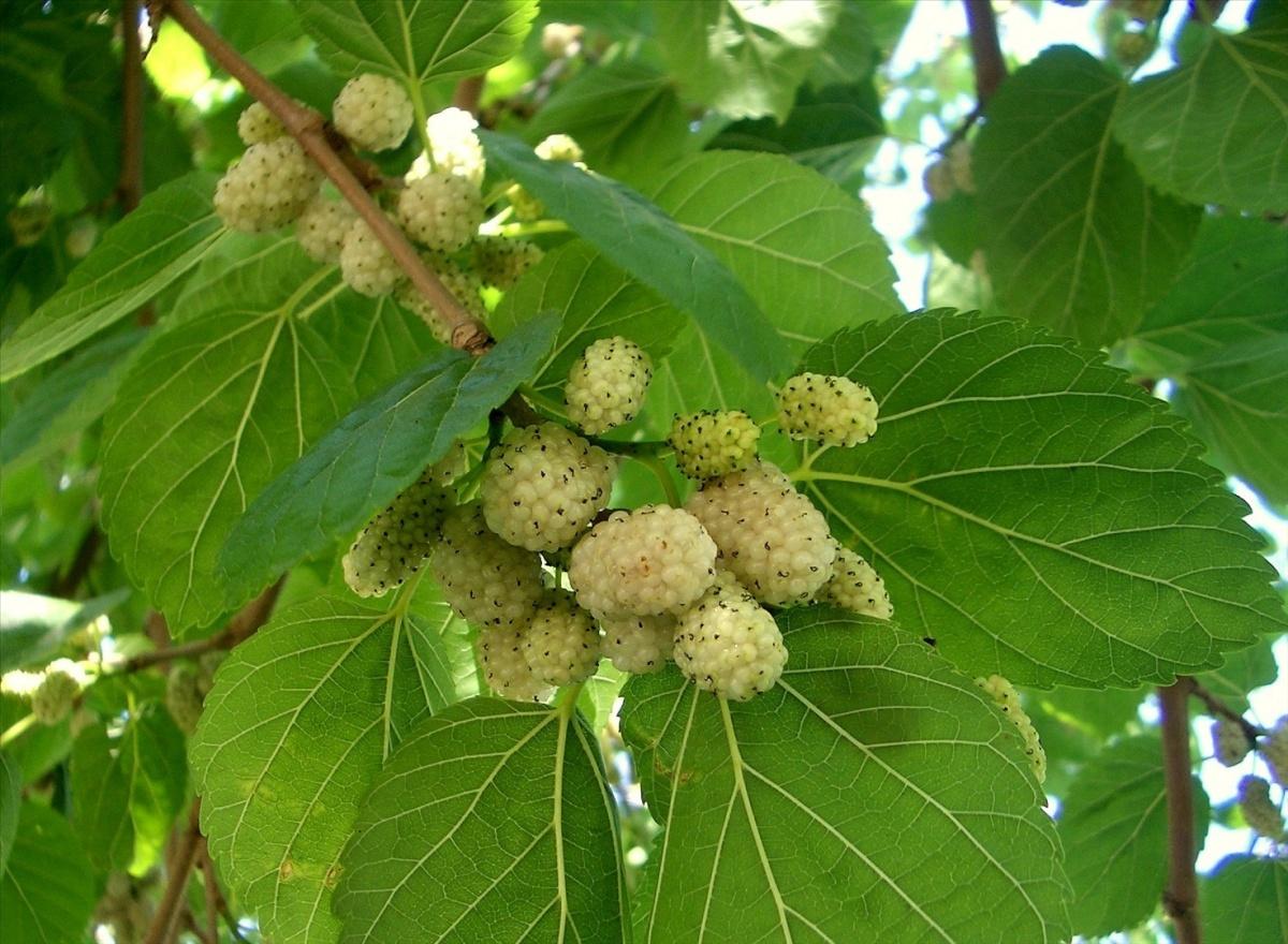 Шелковица выращивание и уход в средней полосе полезные свойства 55