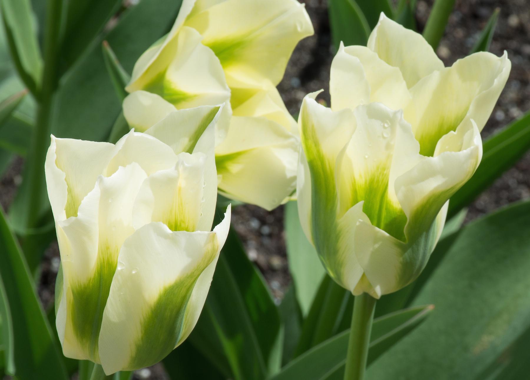 схема размещения на клумбе из еюльпанов и нарцисов