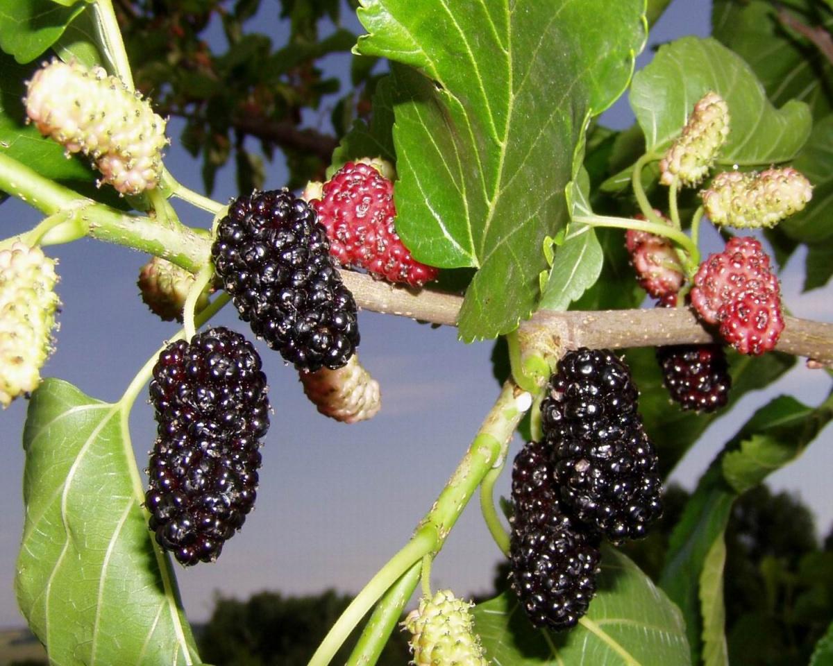 Шелковица выращивание и уход в средней полосе полезные свойства 59
