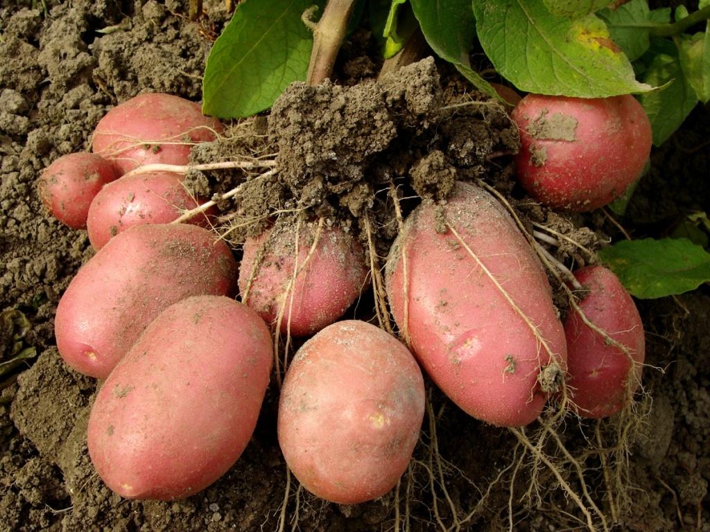 Выращивание элитного картофеля 44