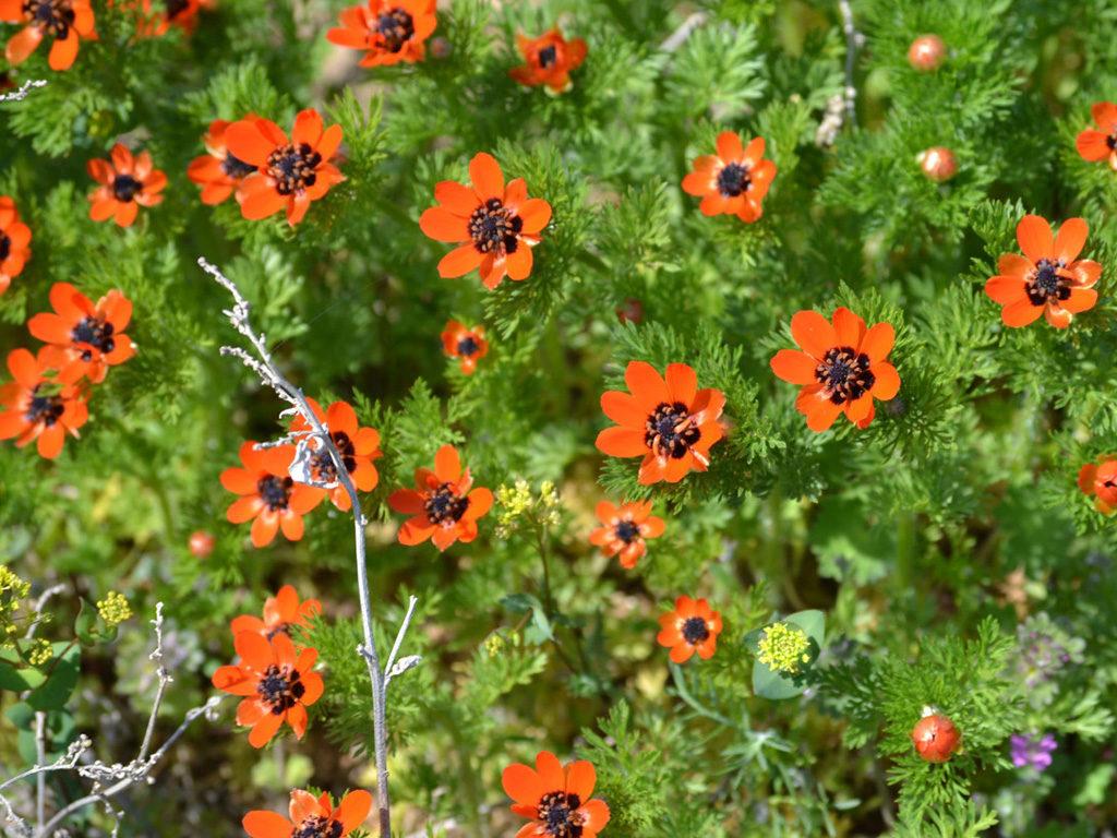 Адонис яркие солнышки в саду. Уход, выращивание, размножение