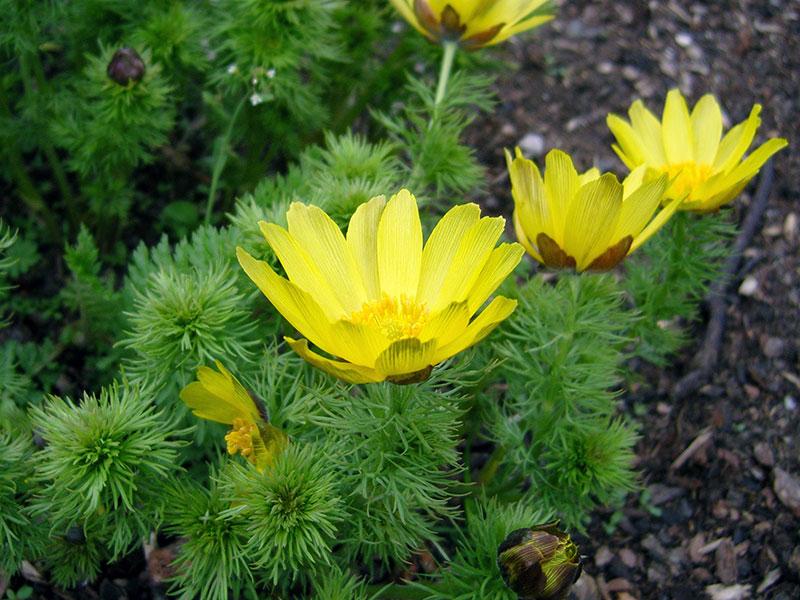 Адонис цветы фото и описание