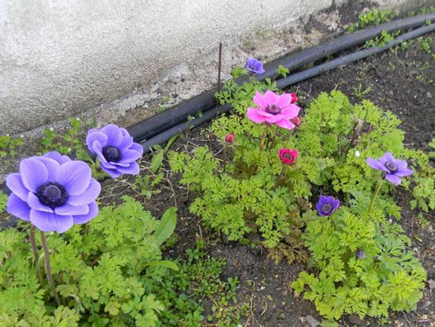 Анемона выращивание из семян когда сажать фото 87