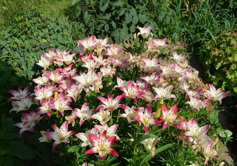 Когда сажают цветы лилиями