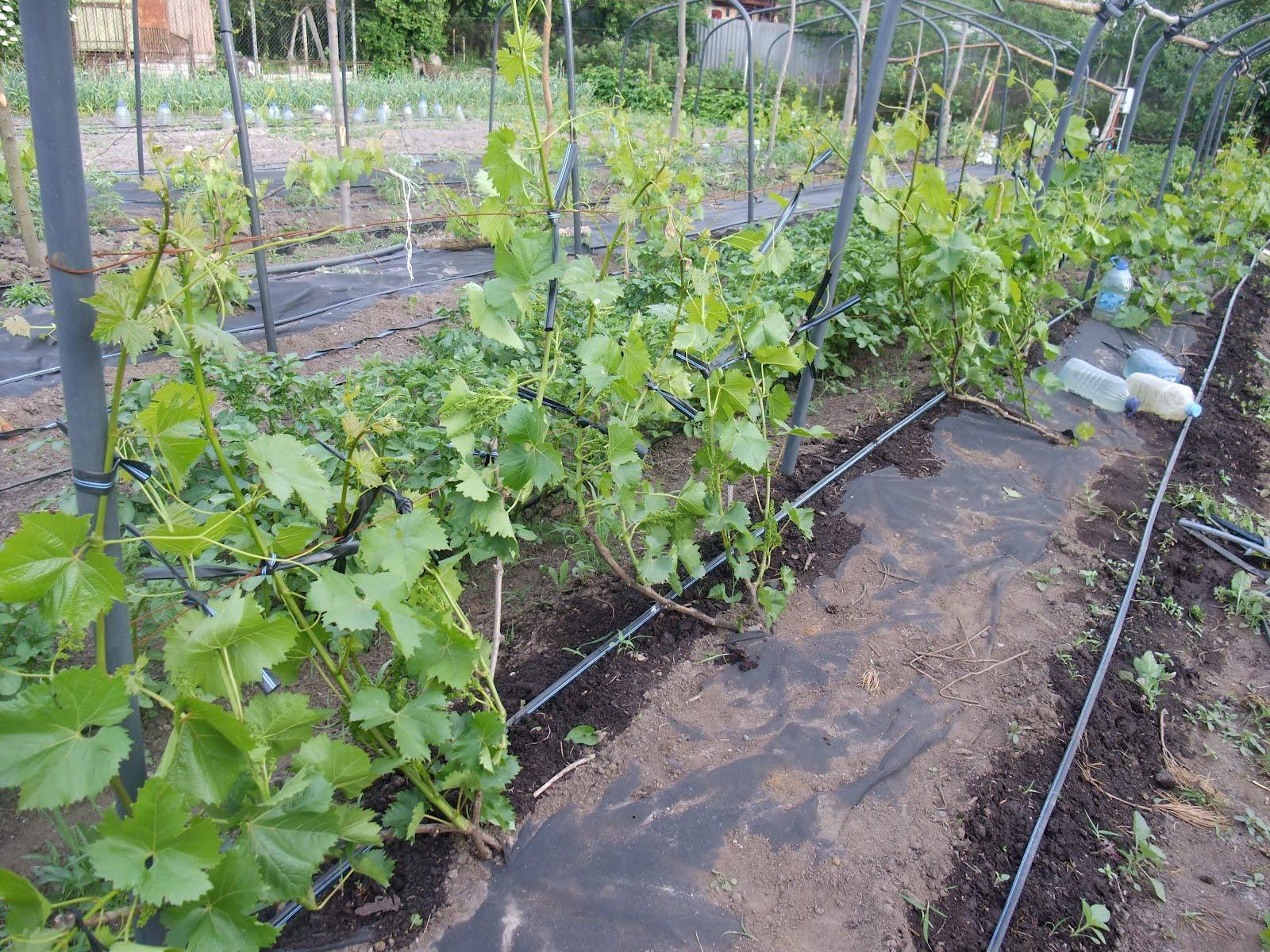 Как правильно сделать виноградник