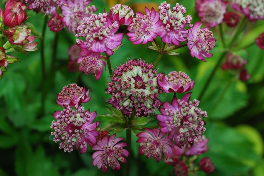 Астранция цветок выращивание 82