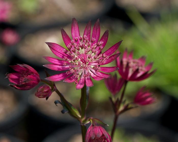 Астранция цветок выращивание 15