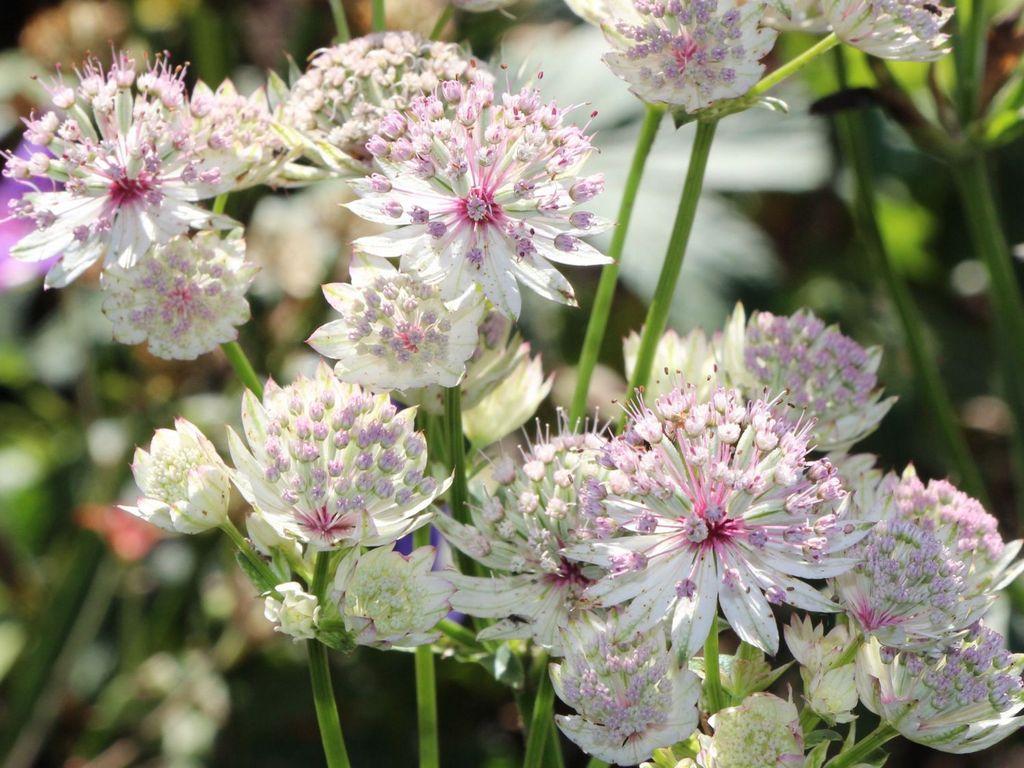 Астранция цветок выращивание 63