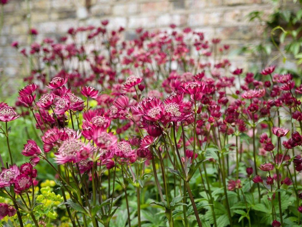 Астранция цветок выращивание 66