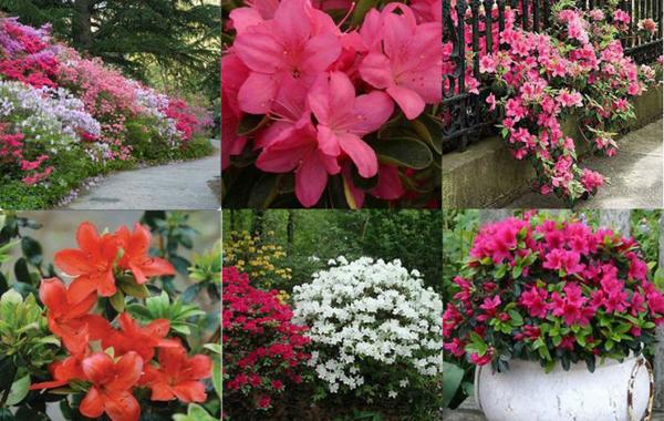 Азалия многолетняя садовая выращивание и уход фото 21