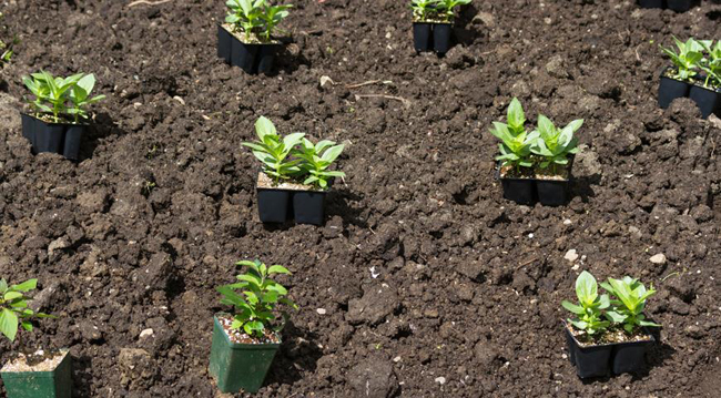 Как сажать семена на рассаду цинии 87