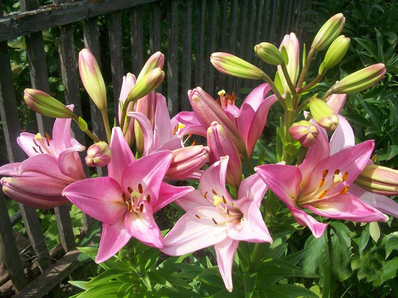 Выращивание и уход лилий 12