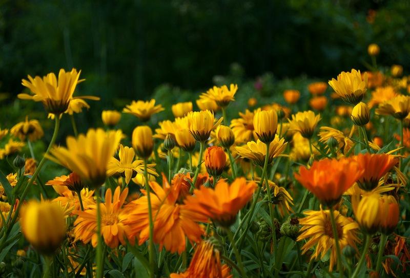 Календула цветок выращивание 9