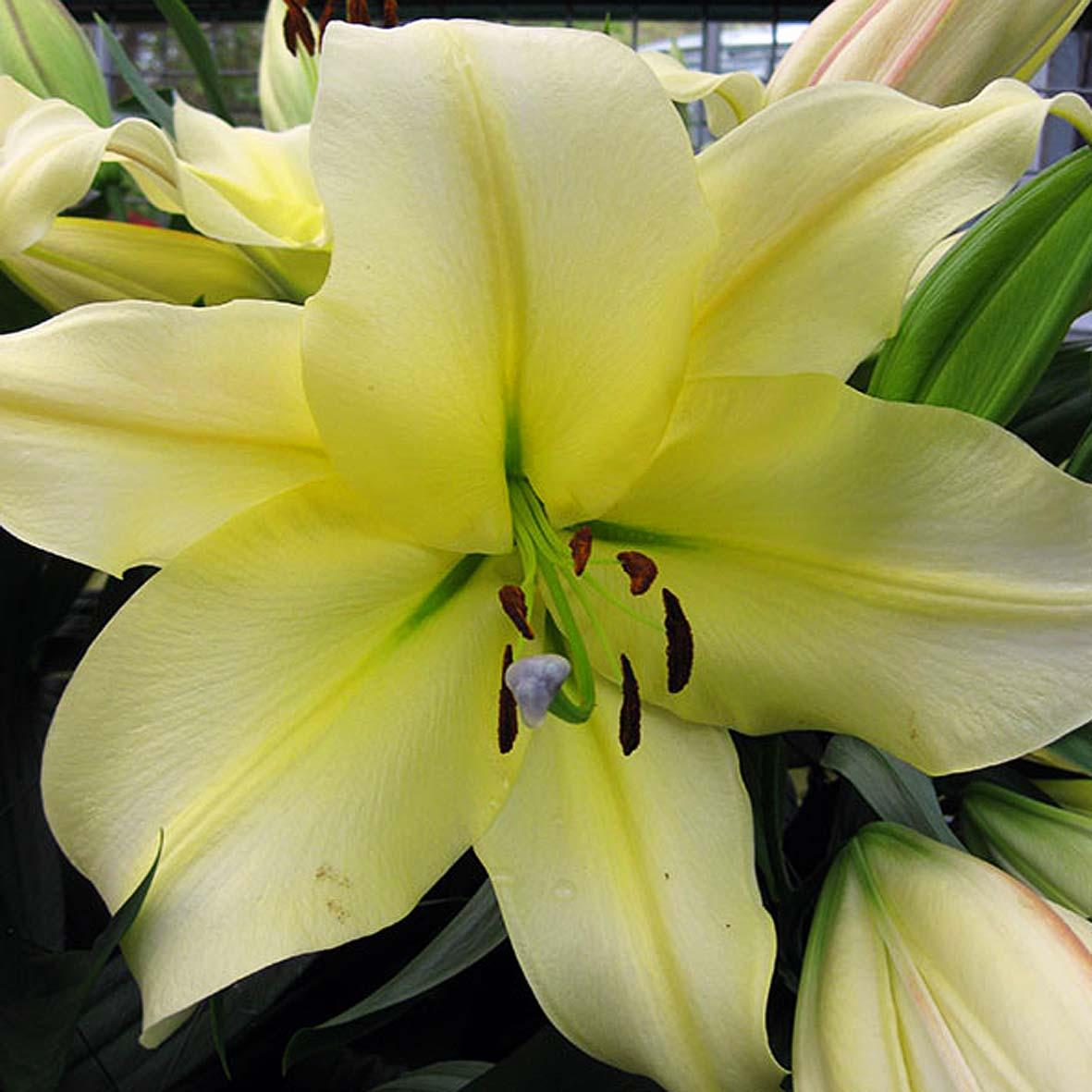 Фото цветка древовидной лилии