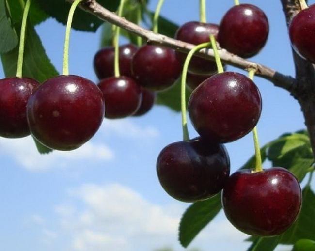Условия выращивания вишни на урале 62