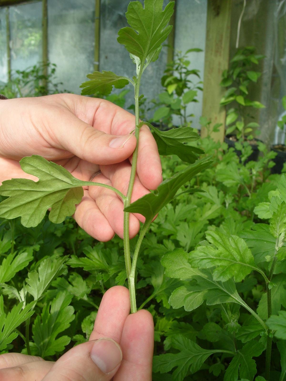 Выращивать хризантемы домашних условиях