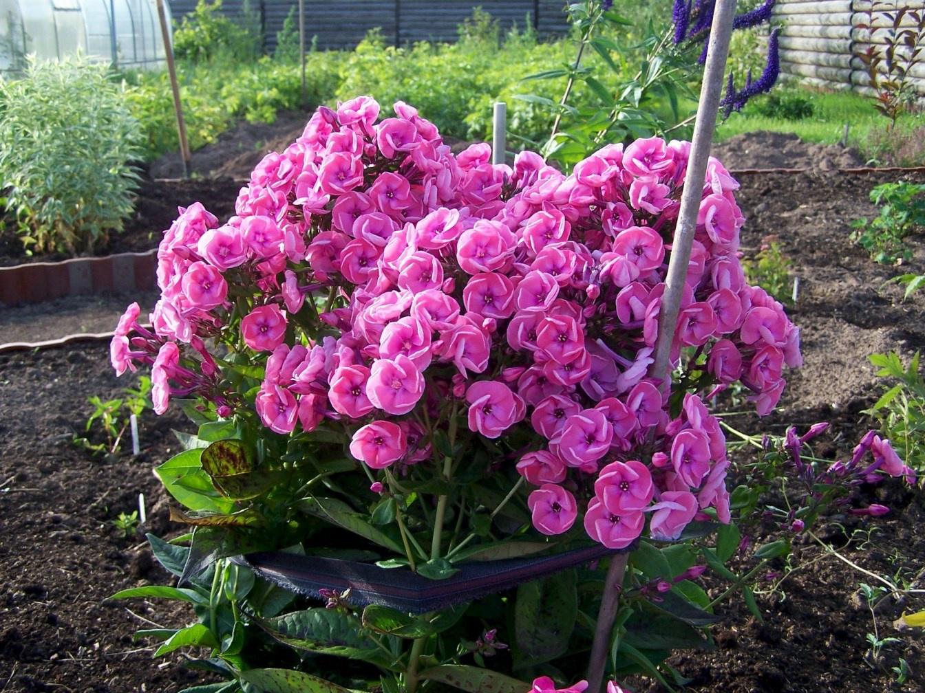 Лобелия: посев семян и выращивание рассады 91