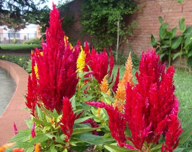 Цветок целозия гребенчатая -посадка и уход 67