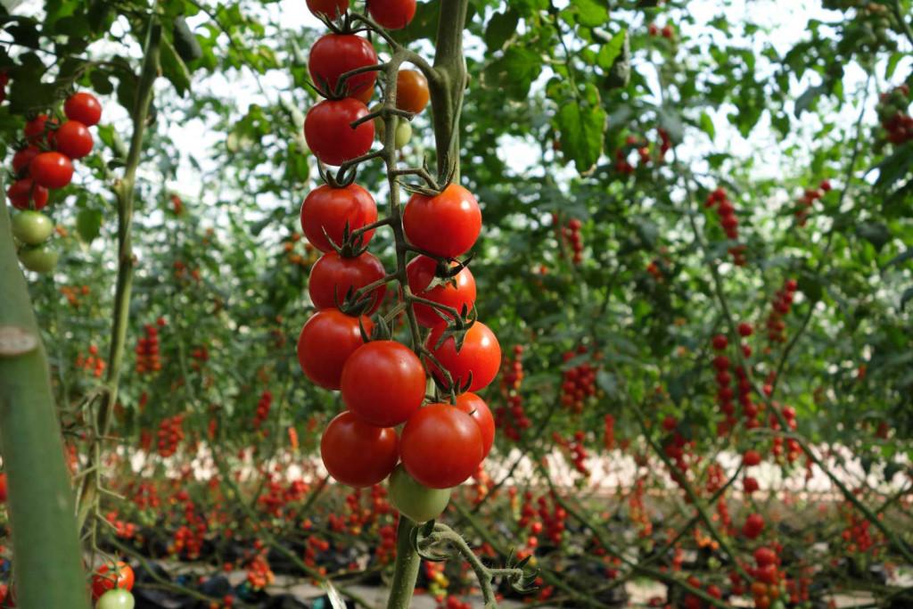 Выращивание томатов черри в теплицах 73