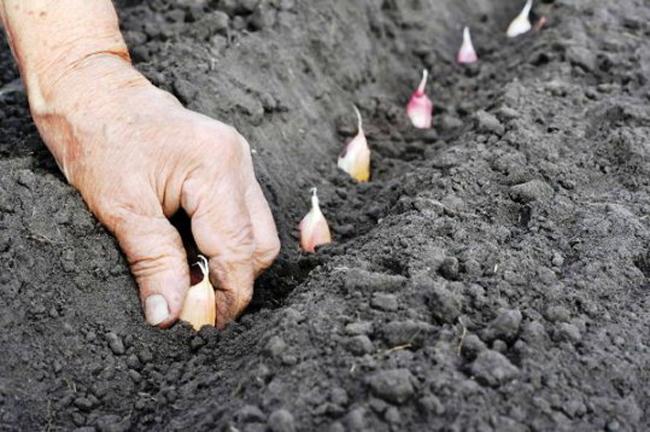 Как сажать чеснок на зиму в украине