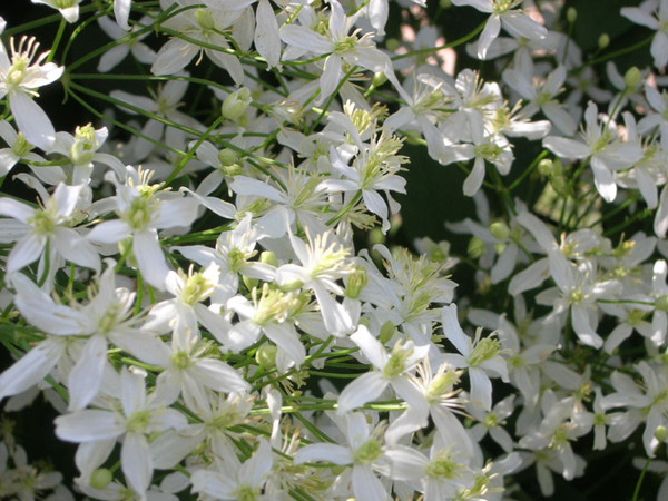 Клематис маньчжурский выращивание из семян отзывы 85