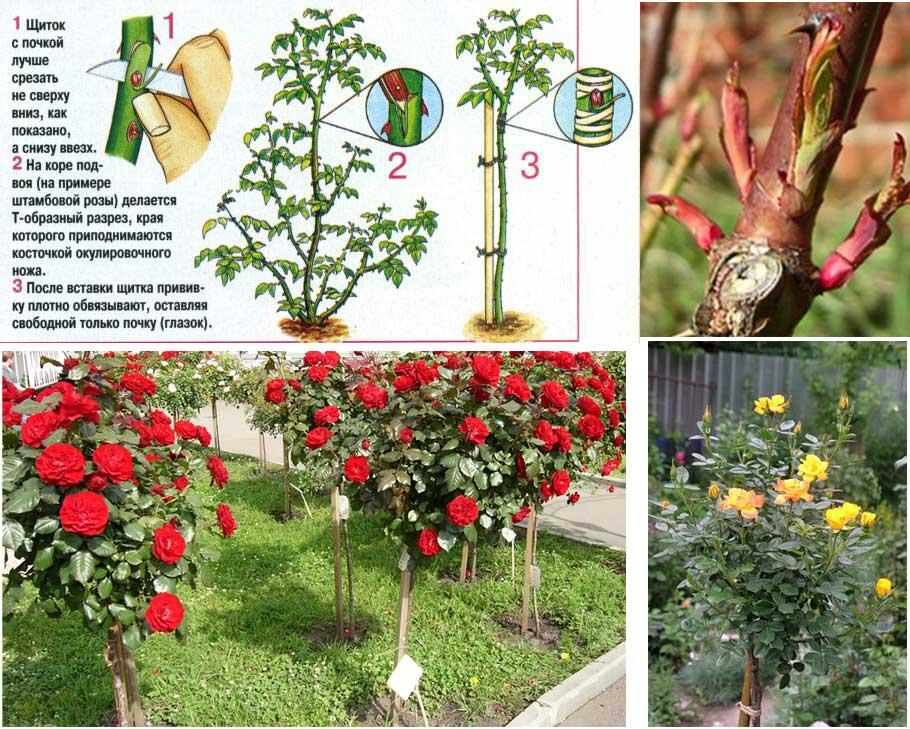 Как привить розу на розу летом