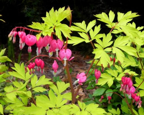 dicentra-gold-heart