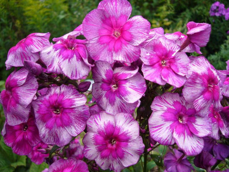 Цветы флоксы все сорта