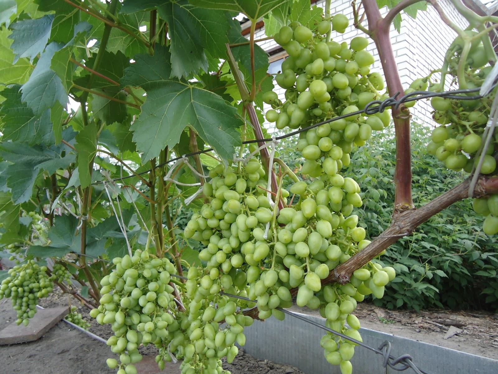 Какие сорта винограда лучше сажать на алтае 63