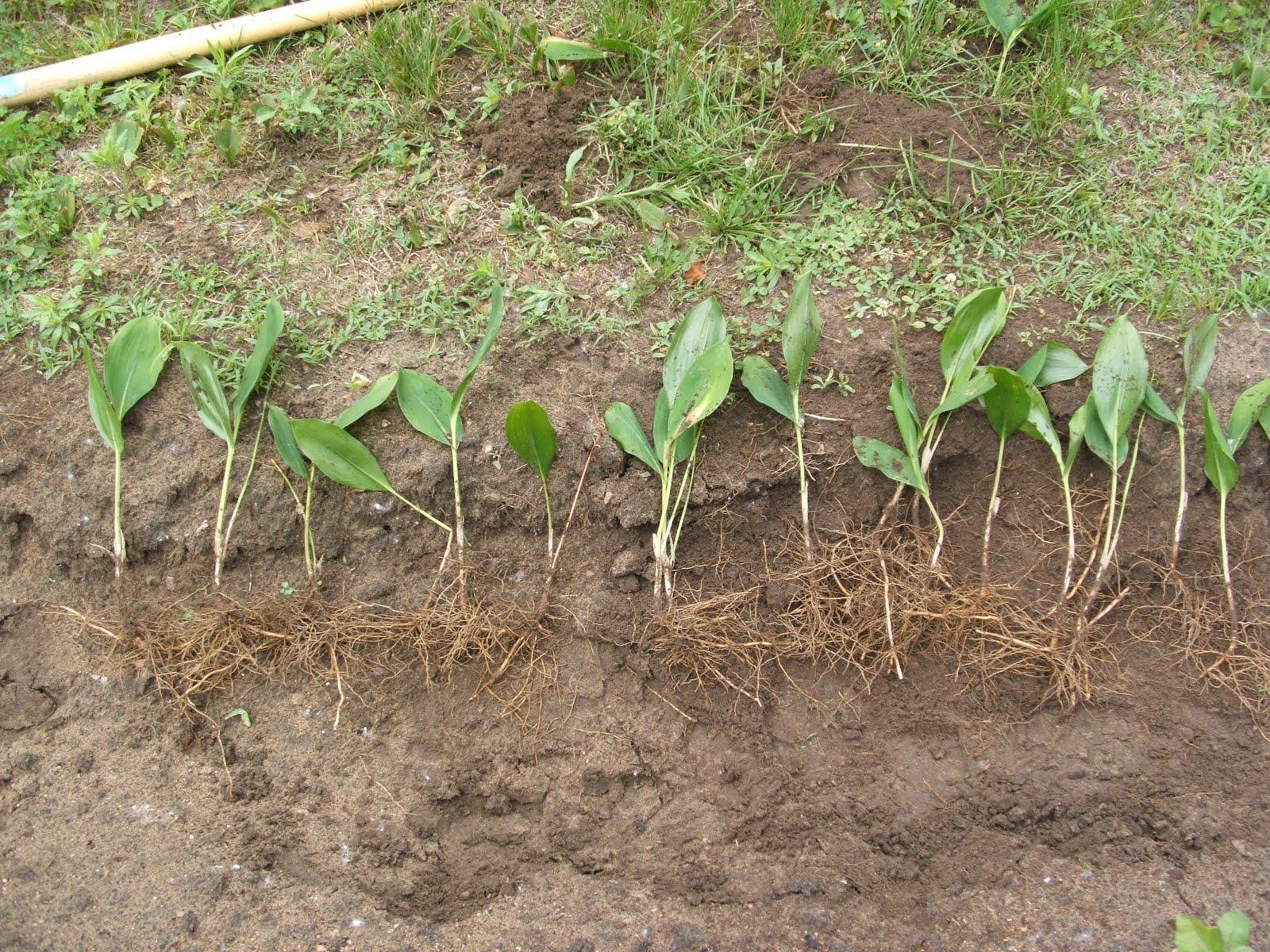 Уход и выращивание ландышей 561