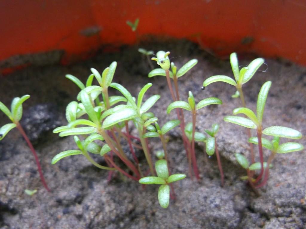 Портулак выращивание и фото 61