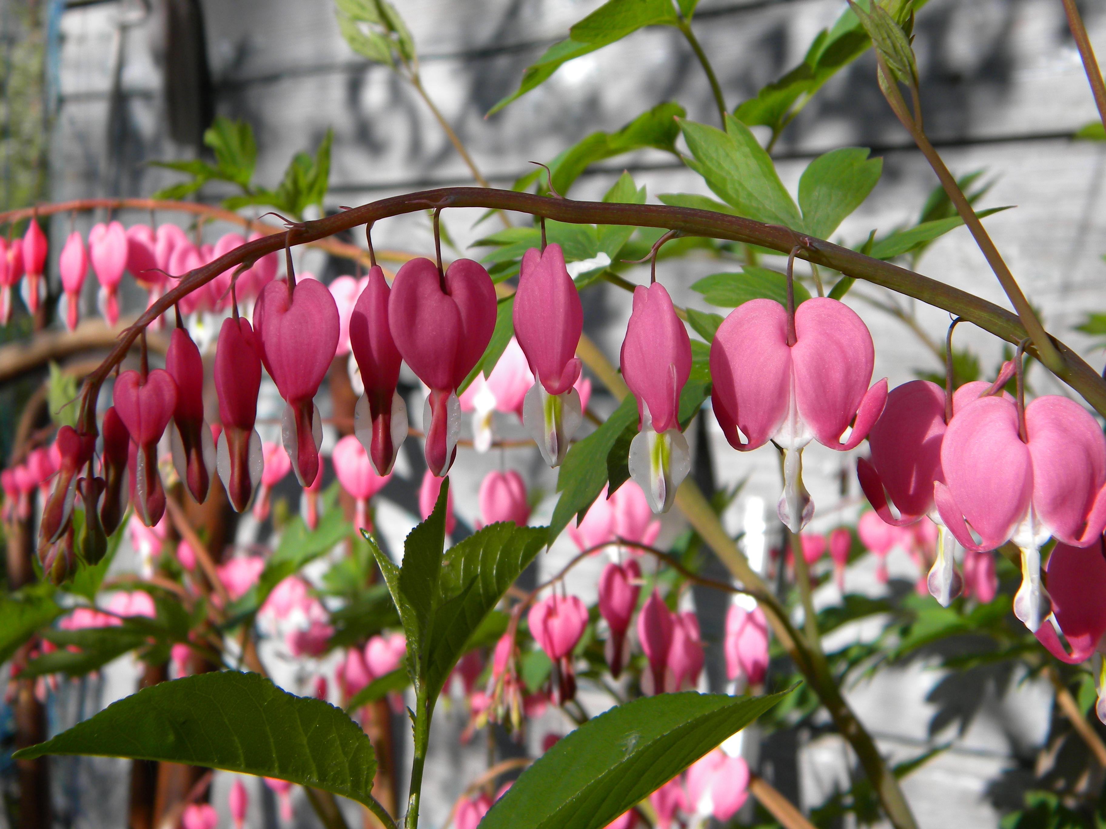 Комнатный цветок сердце фото