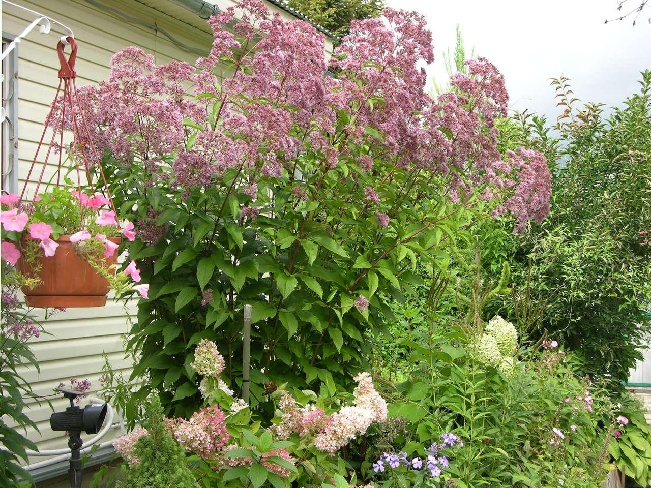 Многолетние цветы высокорослые для дачи