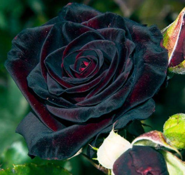 роза черный принц фото