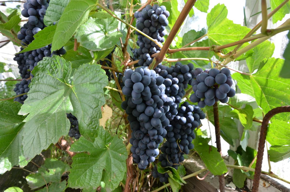Выращивание сортового винограда 60