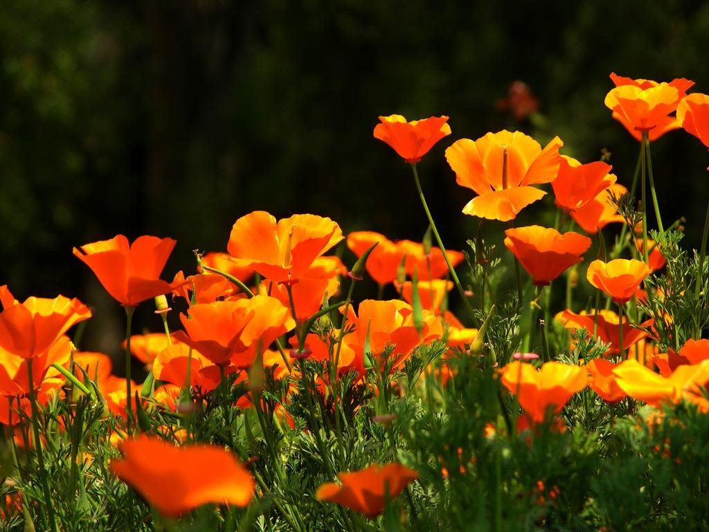 Обои цветы, Эшшольция. Цветы foto 14