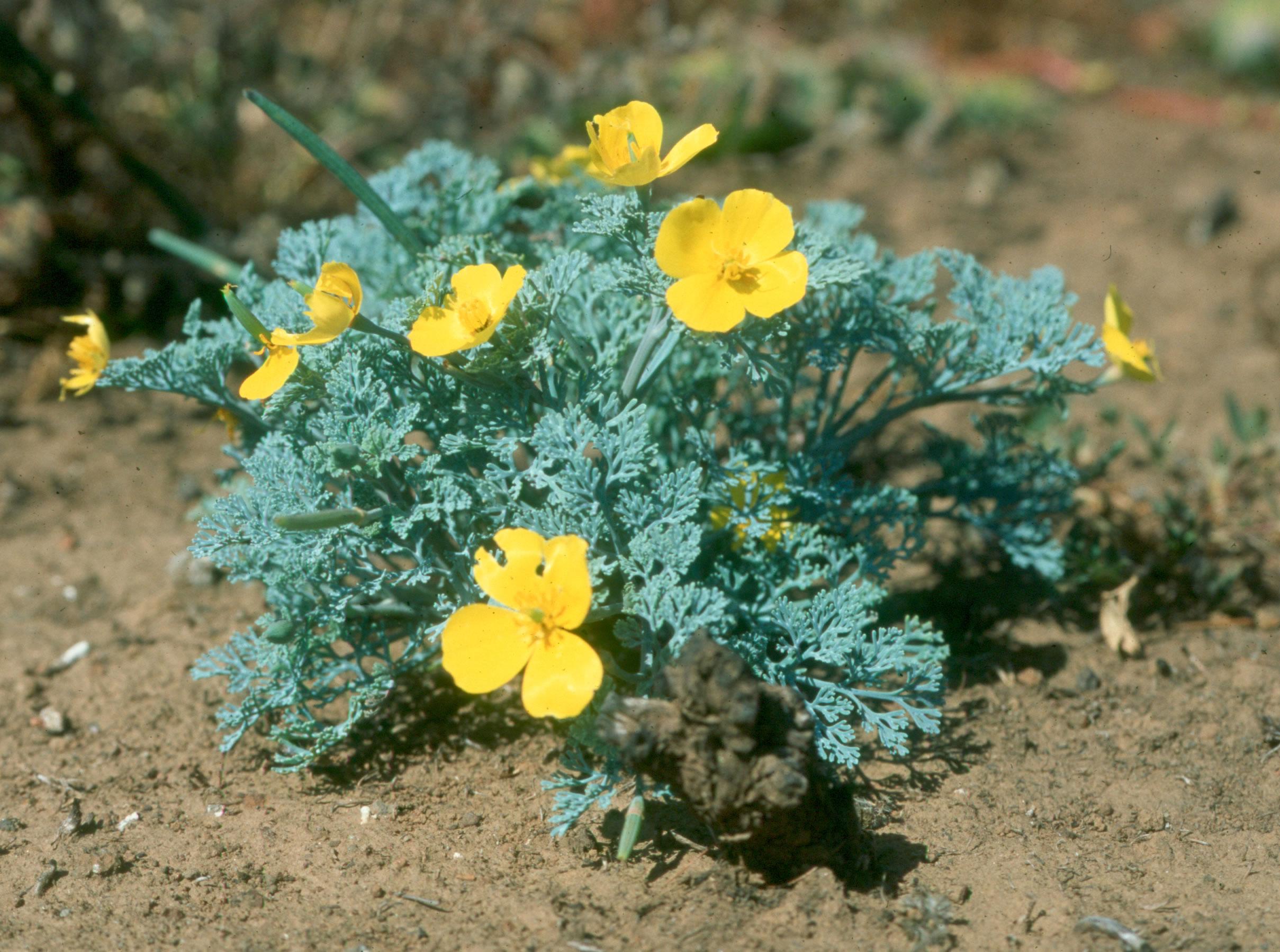 Эшшольция фото цветов 4 фотография