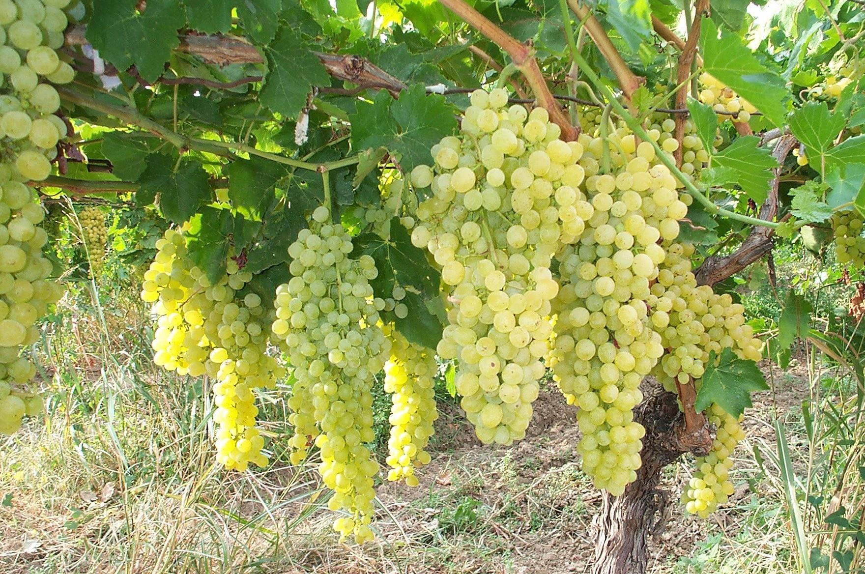 виноград обрезка весной схема