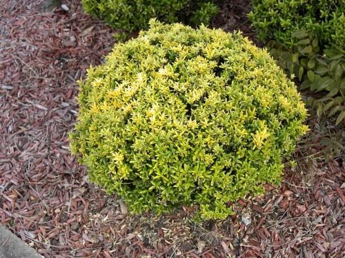 euonymus-japonicus-microphyllus