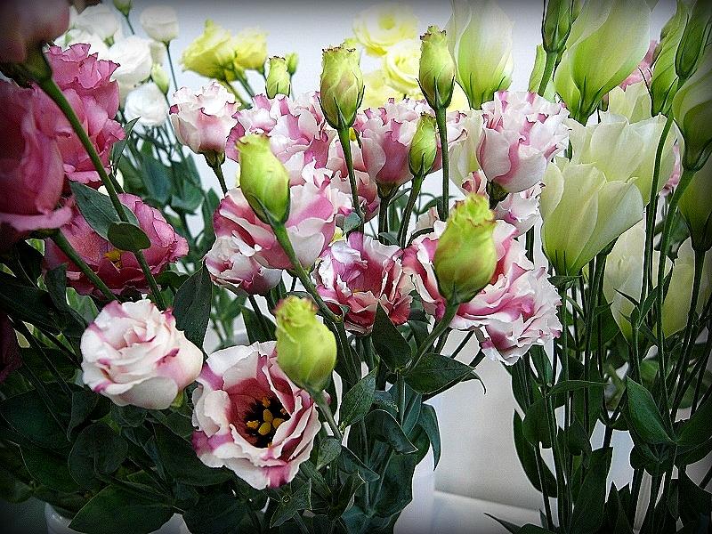 Садовые цветы эустома купить живые цветы валеска виола