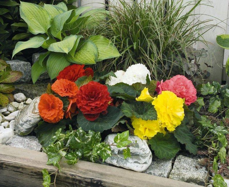 Бегония в саду выращивание 2