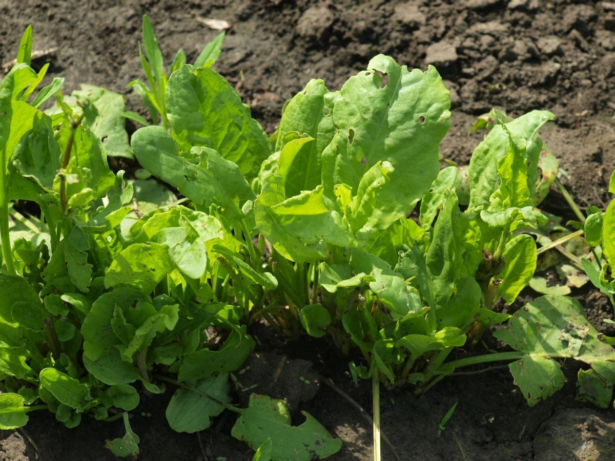 Щавель посадка и уход в открытом грунте Щавель выращивание из семян Как 47