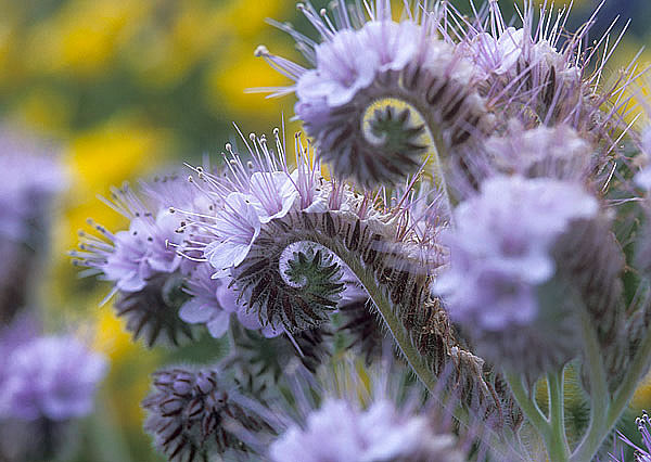 Фацелия цветов и семян